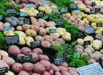 The display of different coloured potatoes which won a prize at Chelsea Flower Show
