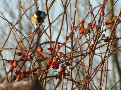 birdsnberries 1